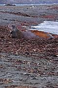 South Elephant Seals